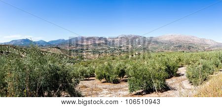 Olive Trees Reaching To Horizon In Andalucia