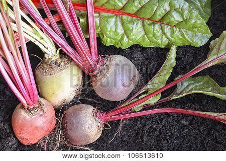 Freshly Picked  Organic Root Vegetables