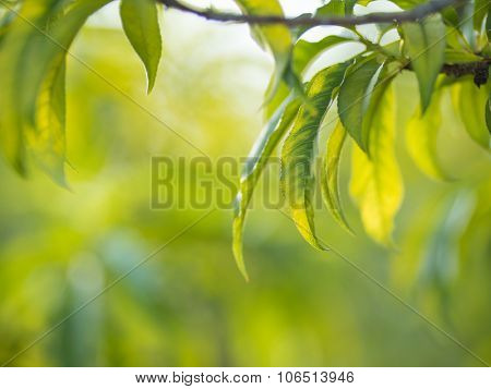 Peach tree leaves over blurred garden background. Shallow DOF, copyspace.