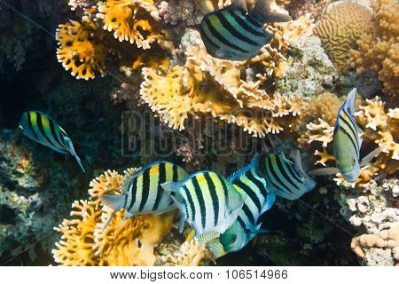 Flock Of Fishes Indo-pacific Sergeant Is Underwater