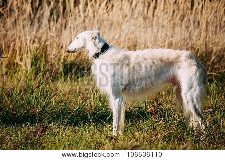 White Russian Borzoi, Borzaya Hunting Dog in field