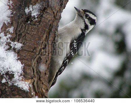 A female downy woodpecker.