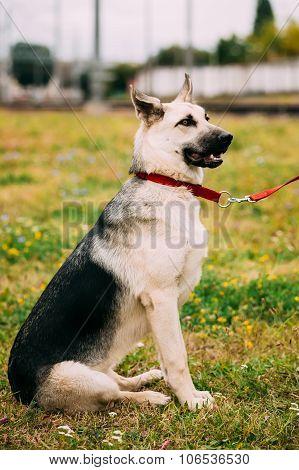Young Happy East European Shepherd dog sitting in green grass ou