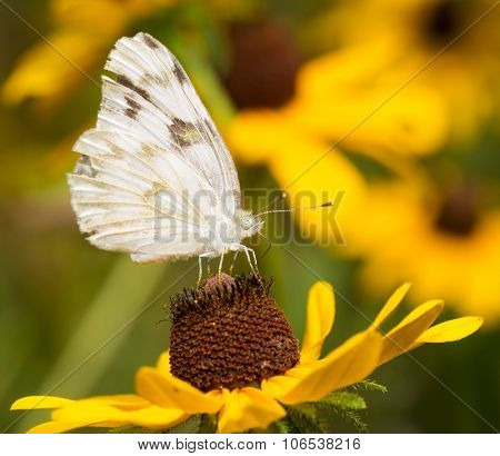 Checkered White butterfly feeding on a Black-eyed Susan flower