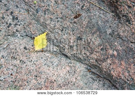 Yellow birch leaf on granite bedrock