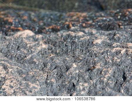 Forest ant on granite bedrock i