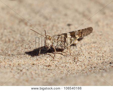 Grasshopper in Sand