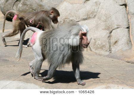 Baboon 20