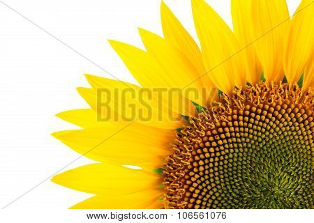 Sunflower Detail, Isolated On White