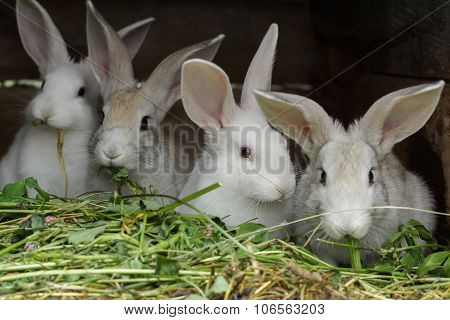 Four Domesticated Rabbits Being Raised In Farm Outdoor Hutch