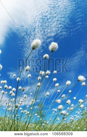 Blooming cotton grass