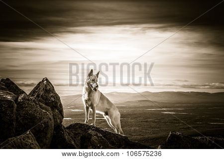 White German Shepherd Dog Standing On Top Of The Mountain