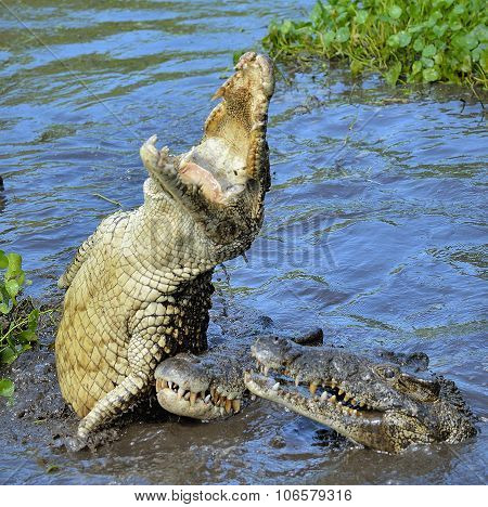 The Cuban crocodile jumps out of the water