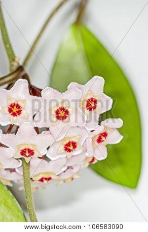 The fleshy Hoya (Hoya carnosa).Popular houseplant for vertical gardening