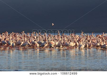 Flamingo: Greater and Lesser Flamingoes in East African Rift Valley poster