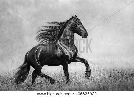 The black Frisian stallion in the autumn foggy field. B&W photo.