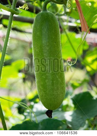 Fresh of green Winter melon on the tree.