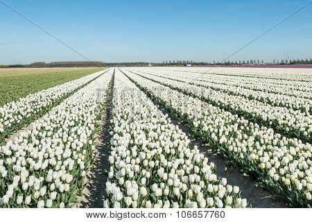 Converging Rows White Flowering Tulip Plants