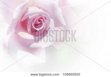 Tender Rose On White Background