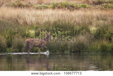 Red Deer Harem During Autumn Rut Being Forced Into Lake By Stag