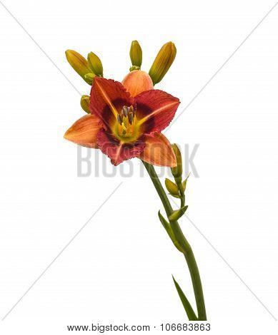 Bicolor miniature daylily on a white background isolated poster