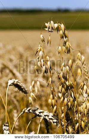 mature oats. close-up