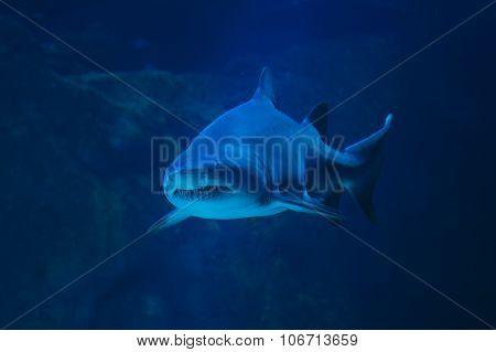 Shark hunting underwater