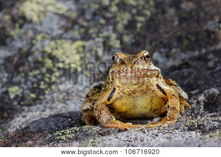 Common Frog (Rana temporaria) sitting on a stone