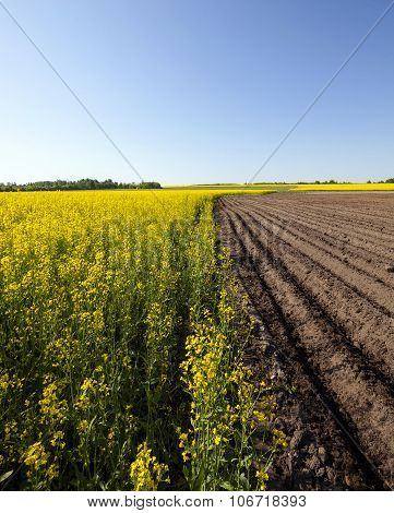 Agriculture . rapeseed field