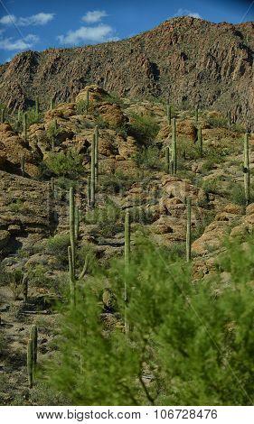 Beautiful Mountain Desert Scene With Saguaro Cacti