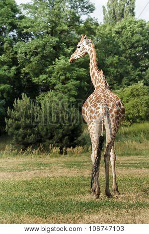 Endangered Giraffe Subspecies Rothschild's Giraffe Is Walking At Green Bushes Background In Wars