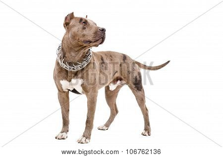 Dog breed pit bull standing isolated on white background poster