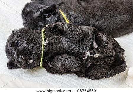 Small Puppi Breed Miniature Schnauzer