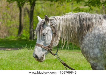 Portrait of dappled mare at spring pasture