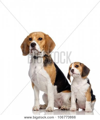 Beautiful beagle family isolated on white