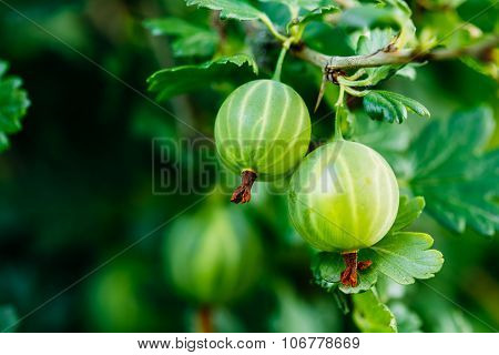 Green Ripe Gooseberry In Fruit Garden.