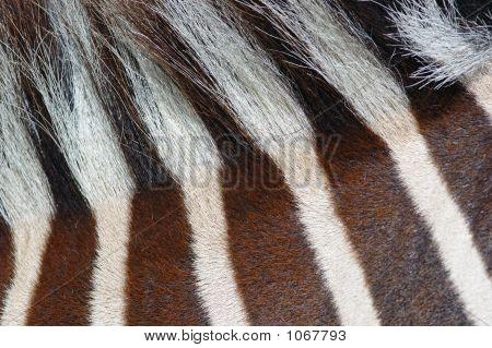 Old Zebra