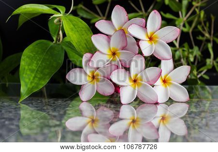 Sweet beautiful fragrant flower frangipani (plumeria) with soft reflection on marble texture
