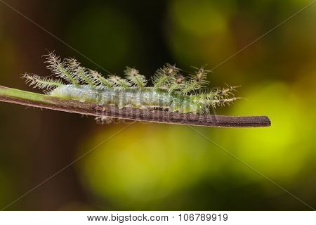 Caterpillar Of The Commom Gaudy Baron ( Euthalia Lubentina ) Butterfly