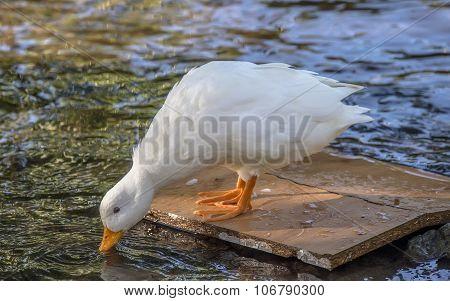 Pekin duck standing on a bit of wood in a river drinking