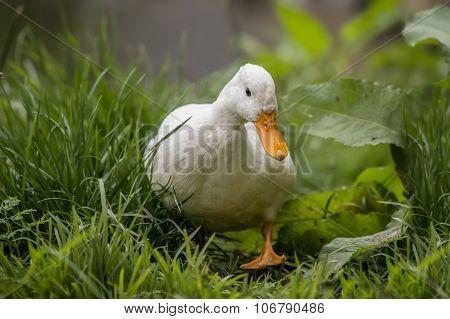 Pekin duck walking on grass by the riverbank