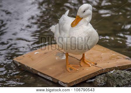 Pekin duck standing on a bit of wood in a river