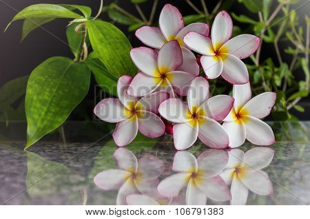 fragrant flower frangipani (plumeria) with soft reflection