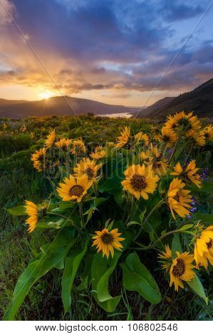 beautiful sunrise and wildflowers at rowena crest viewpoint Oregon. poster