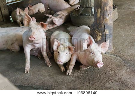 Group of pigs in hovel