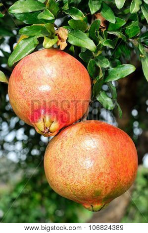 Red and ripe pomegranate on the branch of a pomegranate tree in an biological orchard. poster