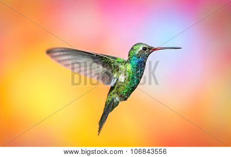 Broad Billed Hummingbird.