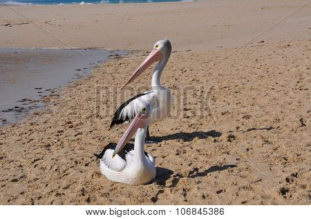 Western Australia: Pelicans on Sandbar