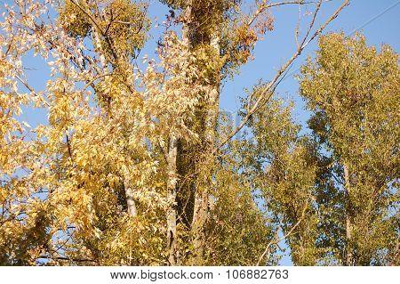 Mistletoe and blue sky.
