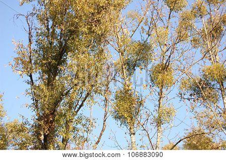 Mistletoe and blue sky background